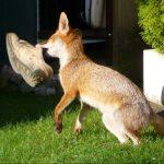 Fuchs und Schuh